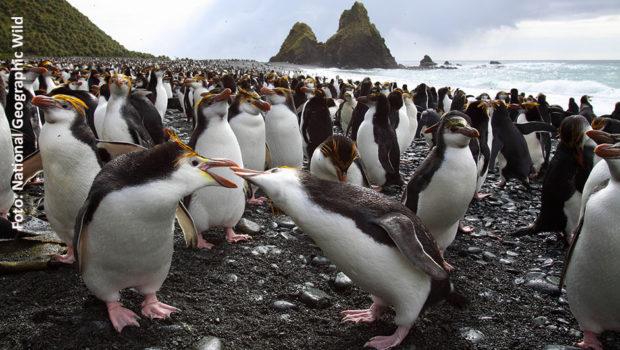 """Die Inselwelt rund um die Antarktis ist für Menschen nahezu unbewohnbar. Doch für viele Tierarten bilden die felsigen Strände einen wichtigen Außenposten. Am Sonntag widmet ihnen National Geographic Wild die Serie """"Eisige Inseln"""". (Foto: National Geographic Wild)"""