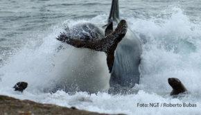 """Es ist nicht alles Hai, was beißt. Orcas, ebenfalls bekannt als Killerwale, jagen sogar am Strand. Ihnen und anderen Raubtieren der Ozeane widmet sich ab heute der Sender National Geographic Wild. Auch an den folgenden Montagen geht es u.a. um Feuerfische, Muränen und Riesenkalmare. Wenn Tierfilmer mit ihren Kameras Orcas bei der Jagd beobachten wollen, brauchen sie dazu keinen Unterwasserdreh. Die Aufnahmen, die der Sender National Geographic Wild in der Doku """"Der tödlichste Wal der Welt"""" zeigt, machen deutlich, dass die hochintelligenten Meeressäuger ihrer Beute, wie beispielsweise Seelöwen, sogar bis auf den Strand folgen. Ausgestrahlt wird der Film als Deutschlandpremiere am kommenden Montag um 20:10 Uhr im Rahmen der Reihe """"Jäger der Meere"""". Zu deren Auftakt steht bereits heute um 21:50 Uhr """"Zeb Hogans Monsterfische: Haie extrem"""" auf dem Programm. Darin begibt sich der bekannte Meeresbiologe Dr. Zeb Hogan in die faszinierende Welt der Haie und sucht dort nach dem ultimativen Monsterfisch. Im Zuge seines Abenteuers setzt er sich überdies kritisch mit einigen Hai-Mythen auseinander. Bis zum 31. August laufen bei National Geographic Wild darüber hinaus weitere Beiträge wie """"Der Riesenkalmar – Gigant der Tiefsee"""" und """"Raubtiere im Paradies – Gefahr in den Untiefen"""". (Foto: NGT/Roberto Bubas)"""