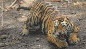 """Im hinduistischen Glauben wird der Königstiger als Reittier der mächtigen Göttin Durga verehrt, doch die Raubkatzen sind auch auf dem Subkontinent vom Aussterben bedroht. Diesem Thema widmet sich der Dokumentarfilm """"Bedrohte Tiger: Die große Zählung"""", den National Geographic Wild morgen Abend ausstrahlt. (Foto: Optimum Television/Yadvendra Singh)"""