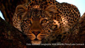 """Es ist Februar und beim Doku-Sender National Geographic Wild stehen wieder die großen Katzen im Mittelpunkt. Ab heute gibt's jede Menge Dokumentationen über Löwen, Leoparden und Co. Im """"Big Cat Februar"""" werden zudem donnerstags ab 20:10 Uhr brandneue Erstausstrahlungen gezeigt. (Foto: National Geographic Wild/Wildlife Films/Luke Cormack)"""