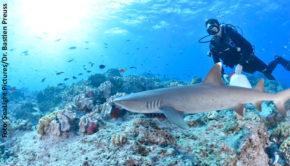 """Kontaktverbote zwischen Mensch und Hai gibt's bislang nicht. Doch Begegnungen beider Spezies können übel enden. National Geographic Wild zeigt heute den Film """"Mission: Hai-Umsiedlung"""". Darin geht's um eine Aktion, bei der die Raubfische möglichst weit von Badestränden und Tauchrevieren eine neue Heimat finden sollen. (Foto: SeaLight Pictures/Dr. Bastien Preuss)"""