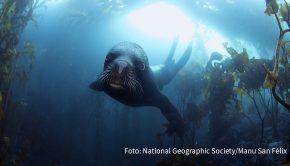 """Überall auf der Welt setzt sich der Wissenschaftler Enric Sala für den Erhalt der Meeresnatur ein. Mit dem Dokumentarfilm """"Pristine Seas Project: Zum Schutz der Meere"""" gibt der Sender National Geographic Wild am morgigen 15. Dezember Einblicke in seine Arbeit. (Foto: National Geographic Society/Manu San Félix)"""