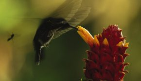 Monteverde Cloud Forest Preserve, Costa Rica - Mites climb onto a hummingbird's beak in hopes of being transported to other flowers. (National Geographic Society/Frans Lanting)