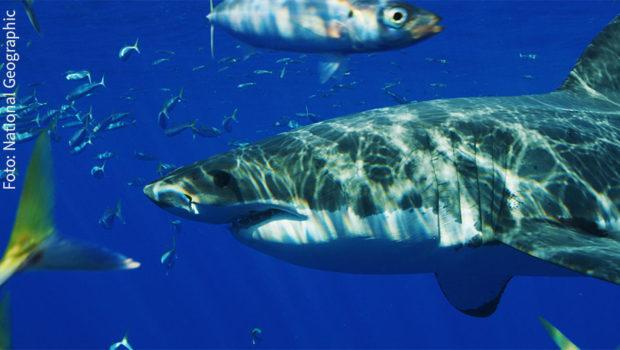 """Im Juli ist bei National Geographic Wild """"Hai Life"""" angesagt, denn den ganzen Monat lang machen Weiße Haie, Tigerhaie, Bullenhaie und Co. täglich ab 17:00 Uhr das Programm unsicher. (Foto: National Geographic)"""